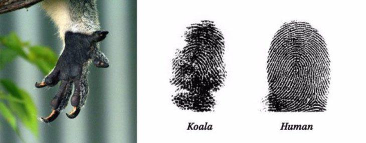 los koalas tienen huellas digitales iguales a los humanos