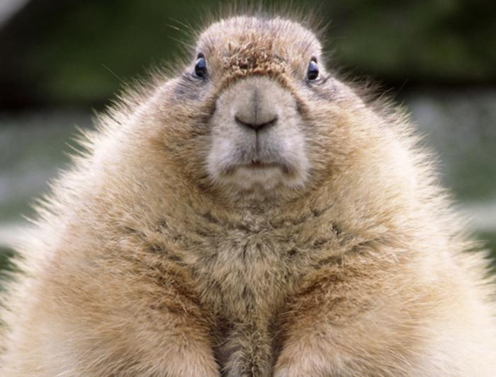 marmota mal día molesta