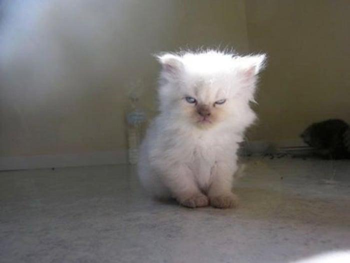 gatito blanco y peludo molesto