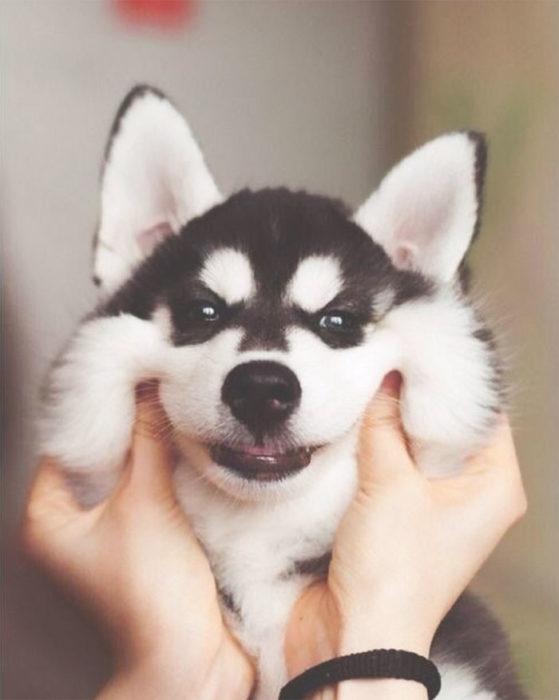 perrito cachetón husky