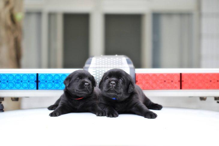 perritos negros dormidos