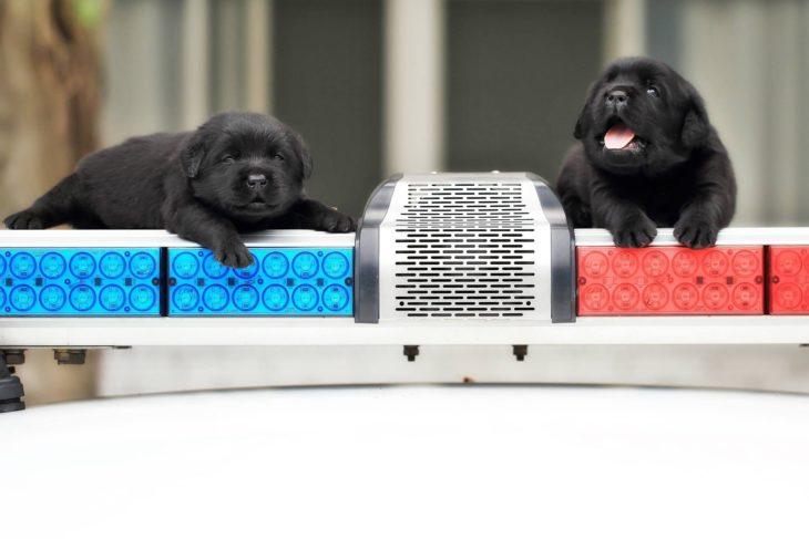 par de perritos negros