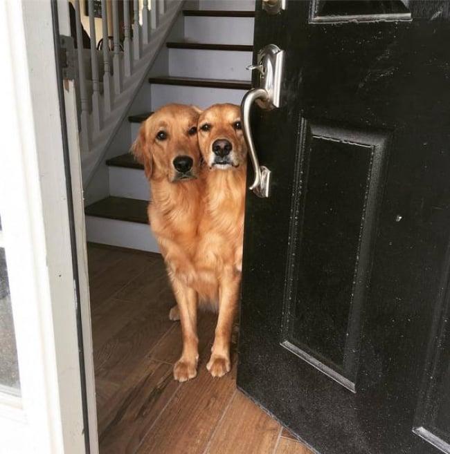 Perro de dos cabezas