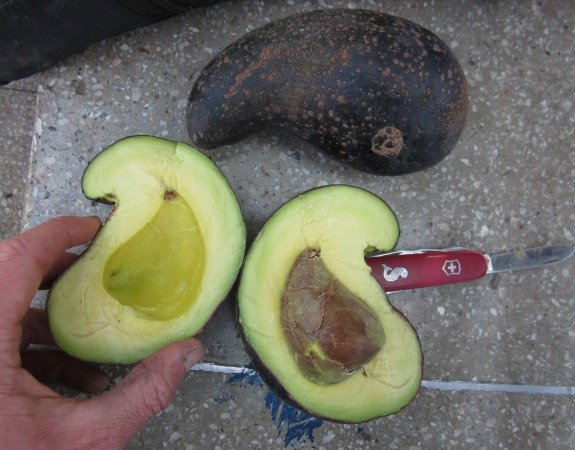 Aguacate torcido
