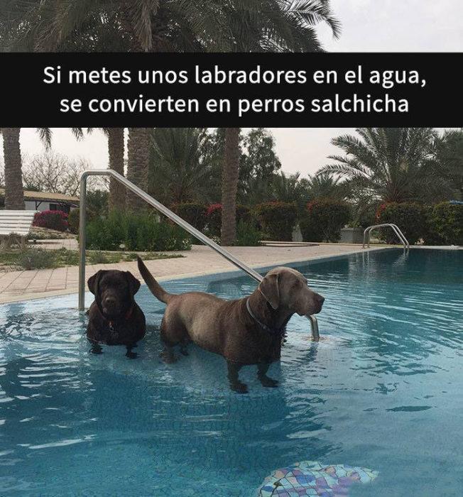 Snaps perros - labradores en agua son salchichas