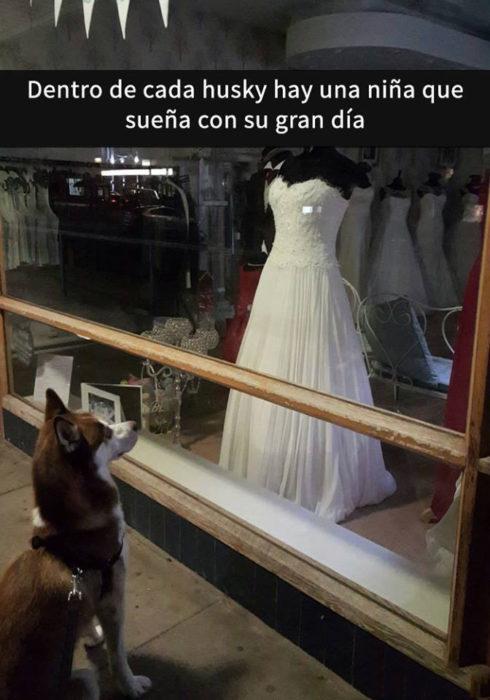 Snaps perros - husky vestido de novia