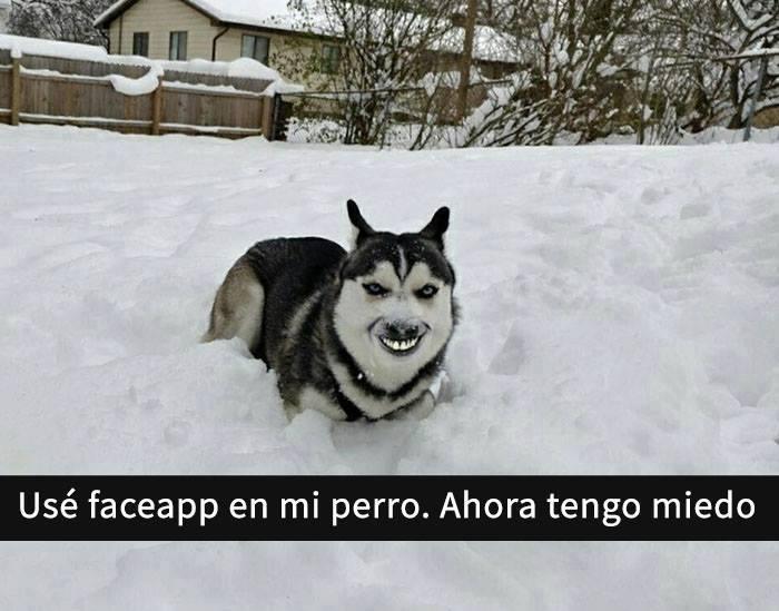 Snaps perros - husky face swap