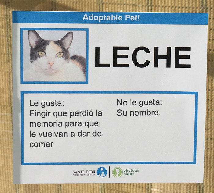 gato leche descripción gatito en adopción