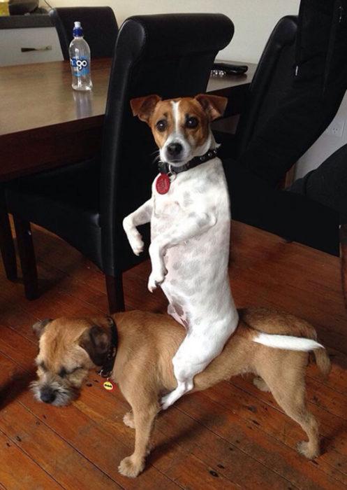 perrito vaquero