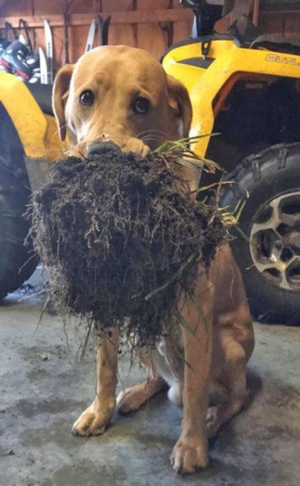 perro juguetón comiendo pasto