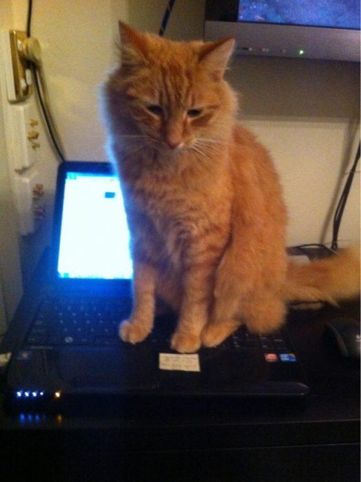 gato parado sobre el teclado