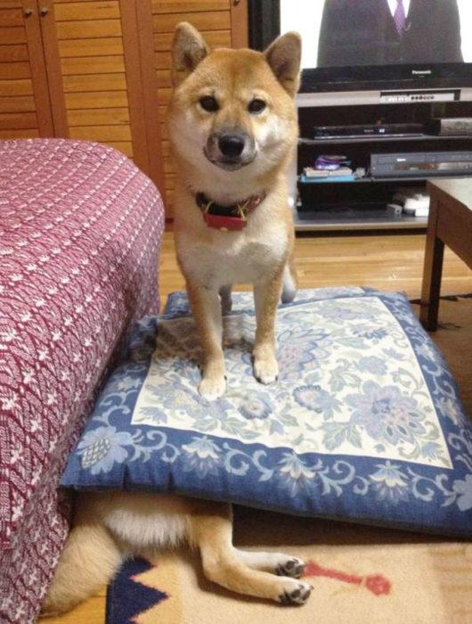 shiba inu parado en otro perro