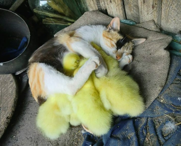 Gatos tiernos abrazo a patito