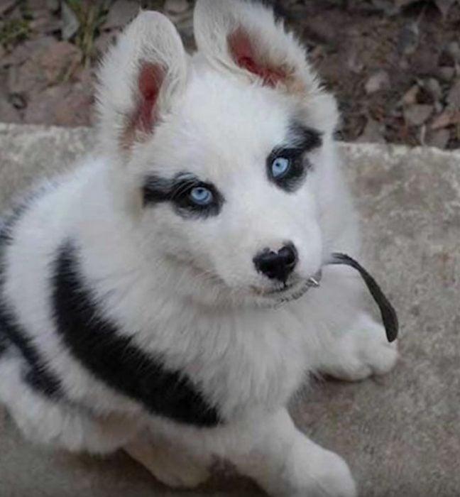 Manchas únicas mini lobo
