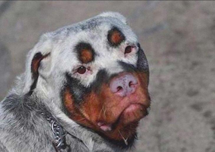Manchas únicas perro con máscara