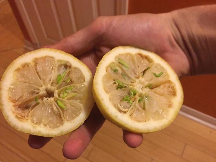 algunas semillas empezaron a brotar dentro de esta lima