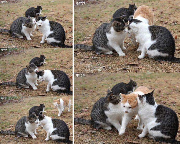 gato pasando entre dos gatos