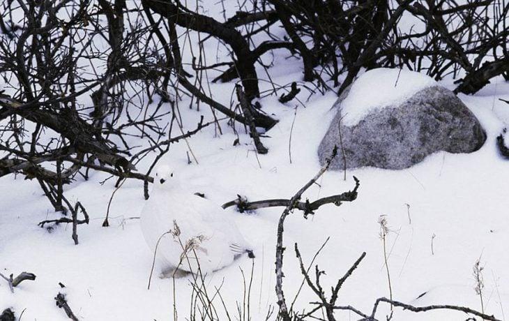 animal en la nieve