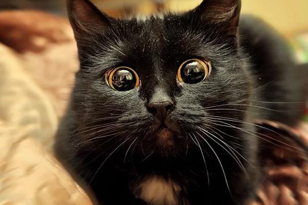 gato negro dramático