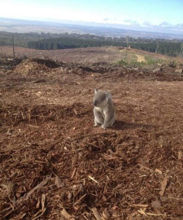 Habitat de koala sin árboles
