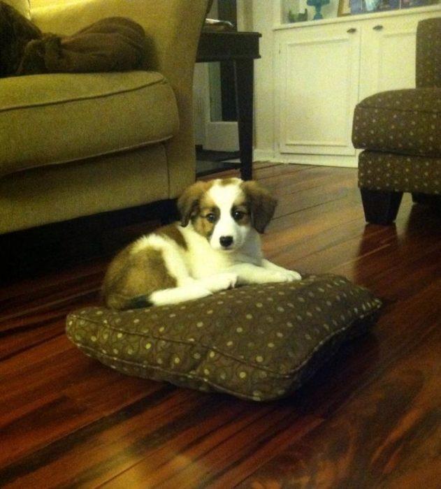 perro acostado en cojin