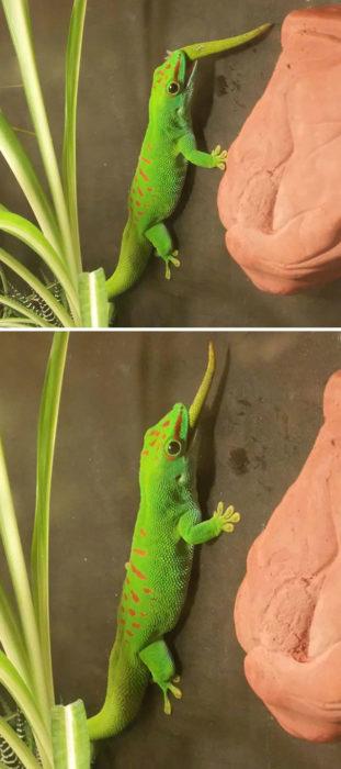 lagarto comiéndose su propia cola