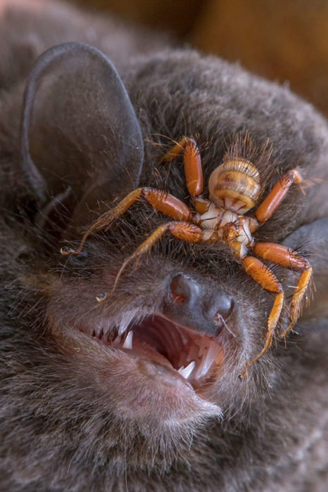 murciélago araña