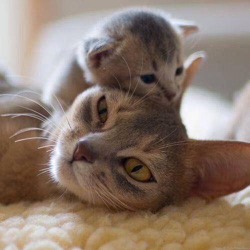 gatito molestando a su mami