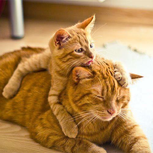 abrazo cabeza gatos mantequilla