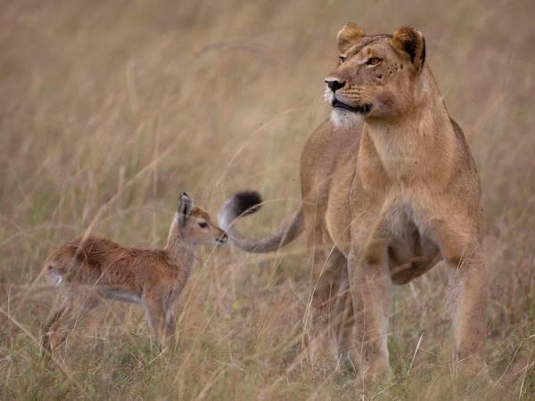 León y gacela amigos