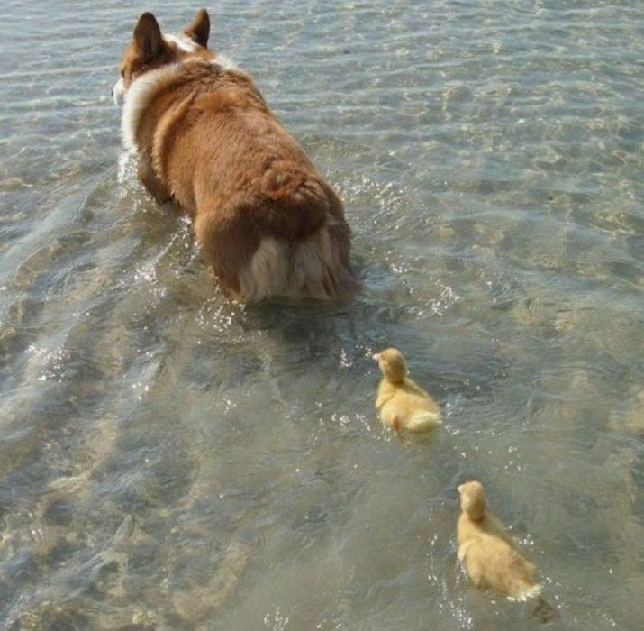 perrito con patos