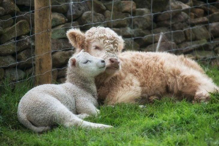 vaca con ovejas