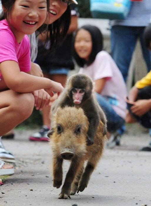 mono cerdo familia