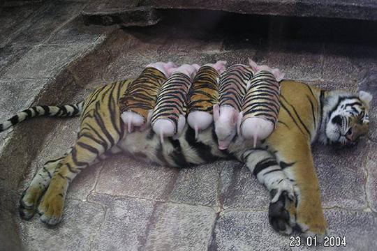 tigre con hijos cerditos