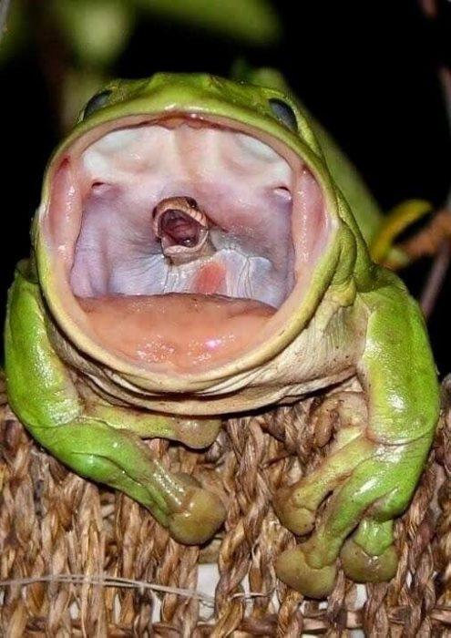 rana comiéndose una serpiente