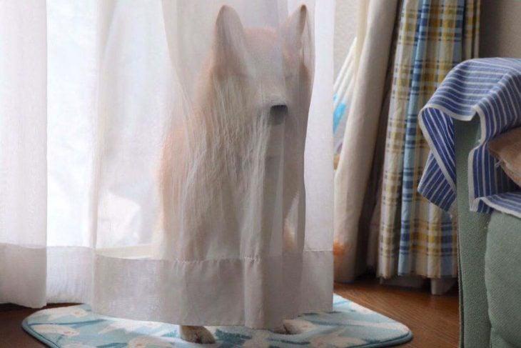 cortina perro escondido