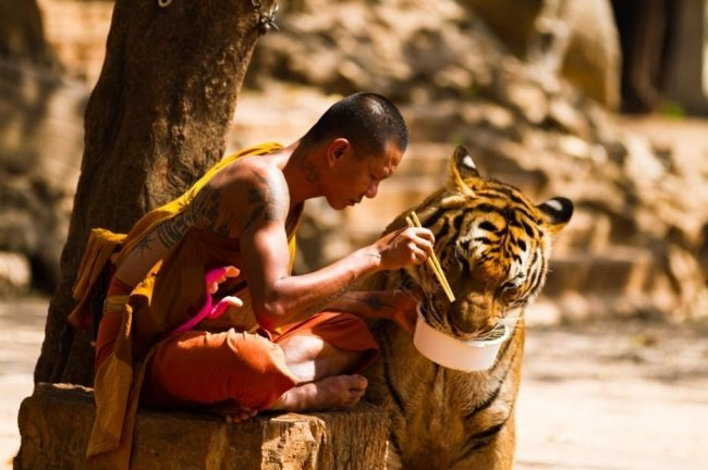 Hombre alimenta a tigre