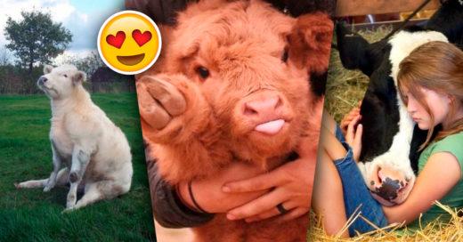 Cover Adorables vacas que demuestran que pueden ser el mejor amigo del hombre
