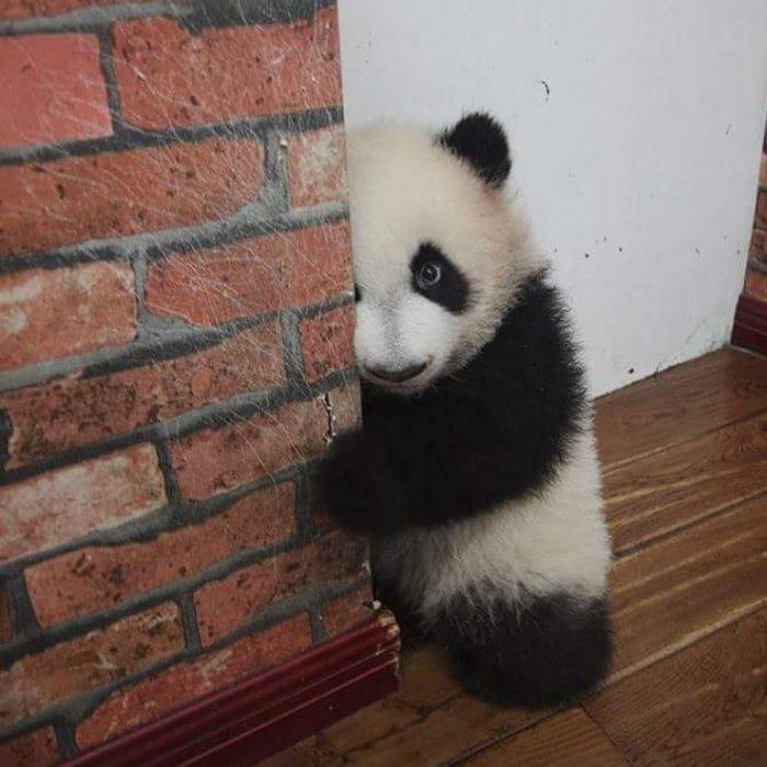panda espiando