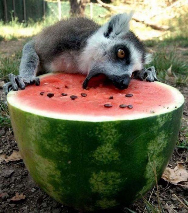 lemur comiendo zandía