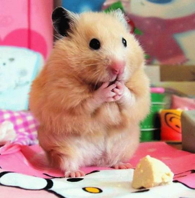 hamster sorprendido