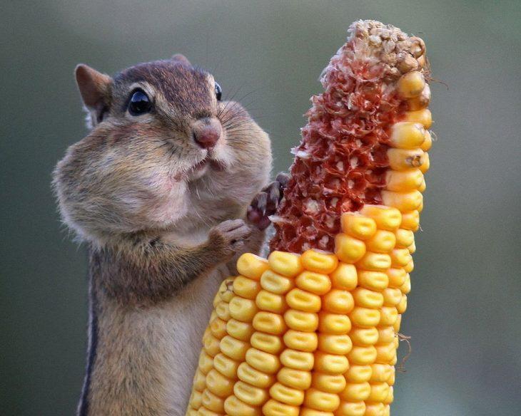 ardillita comiendo elote