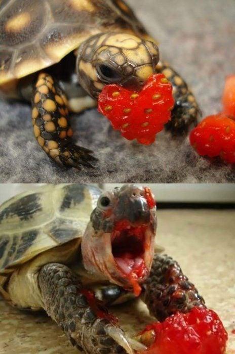 tortuga comiendo