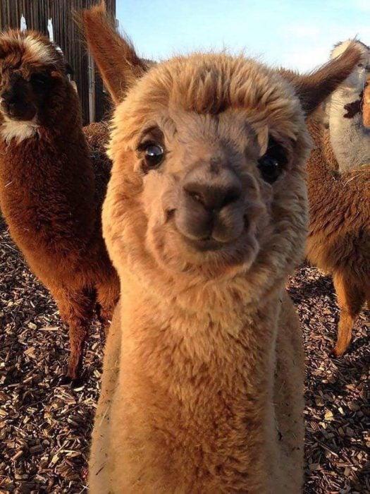 llama alpaca bebé