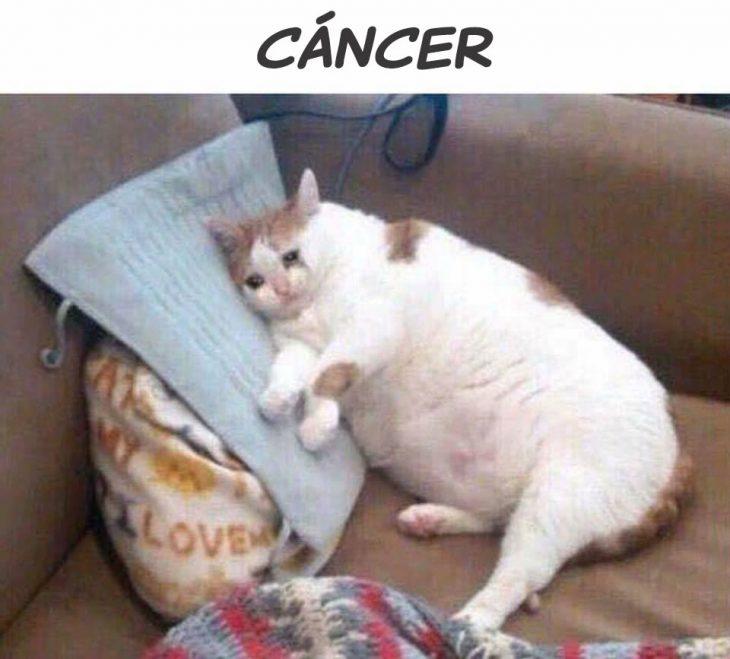cáncer gato