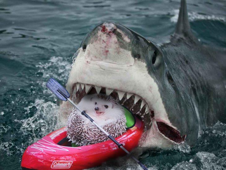 erizo tiburón