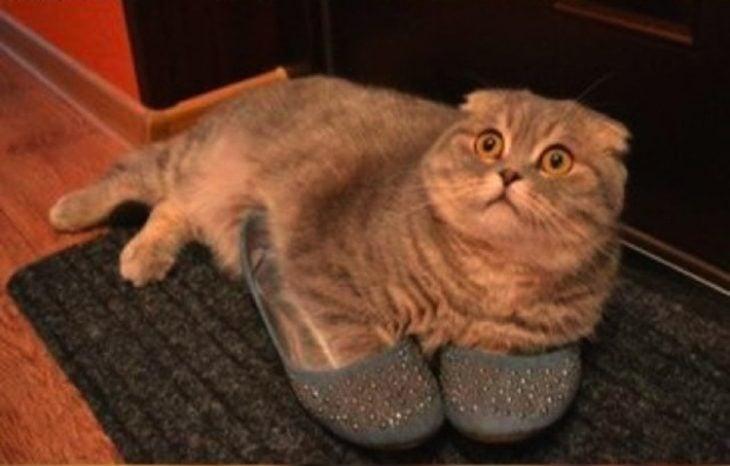 Gato zapatos a la moda