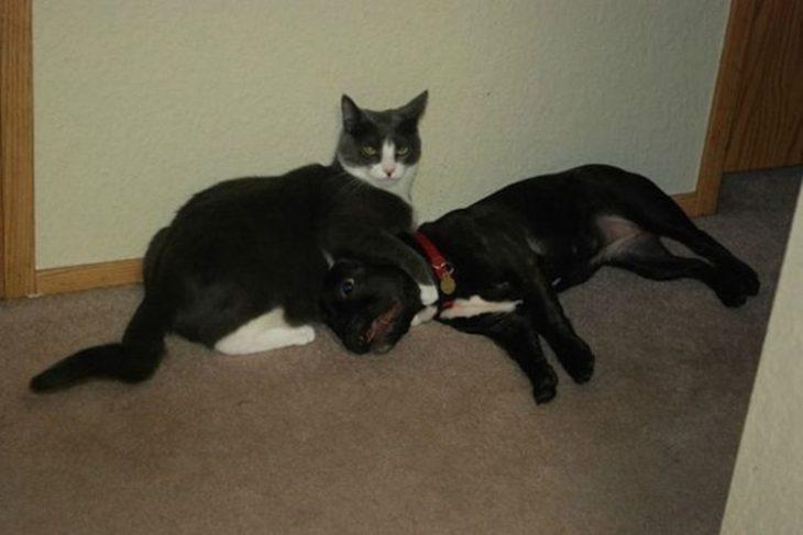 Gato ahorca a perro