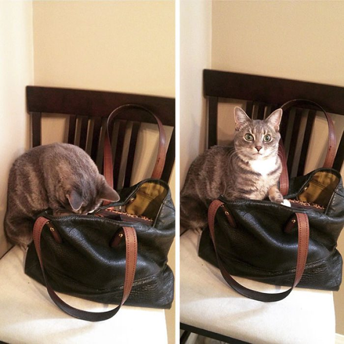 Gato revisa bolsa