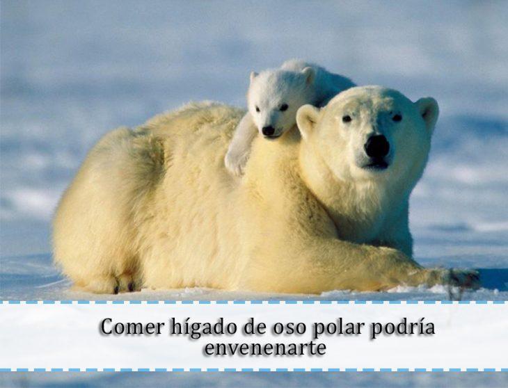 hígado de oso polar